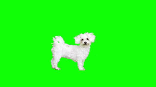 gesti di un cane bianco - fianco a fianco video stock e b–roll
