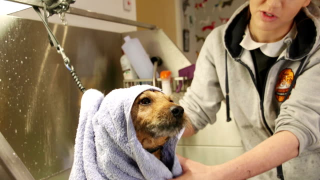 Getting Towel Dried At The Groomers video