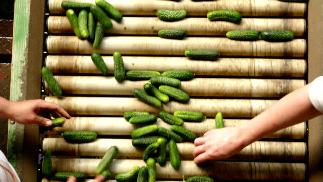 Gherkins processing factory Gherkins processing factory. People working, classify and control the processing of cucumber pickle stock videos & royalty-free footage