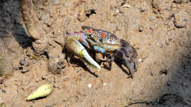 Ghost crabs on mud at wetlands forest.