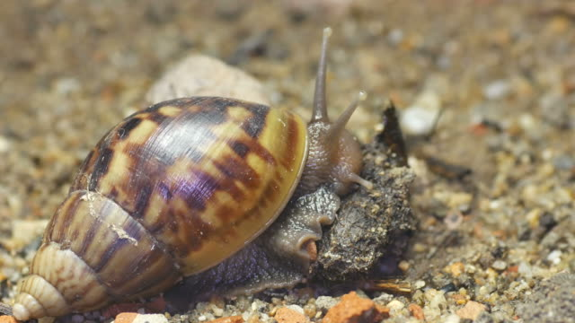 Giant African snail eating video