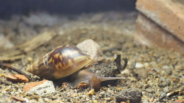 Giant African snail moving video