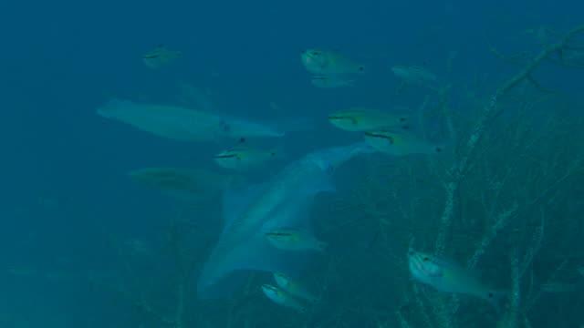 bigfin riesenkalmar undersea laichen - laichen stock-videos und b-roll-filmmaterial