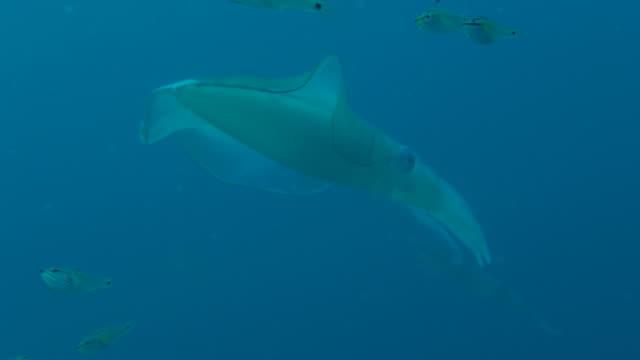 riesige bigfin tintenfisch - laichen stock-videos und b-roll-filmmaterial