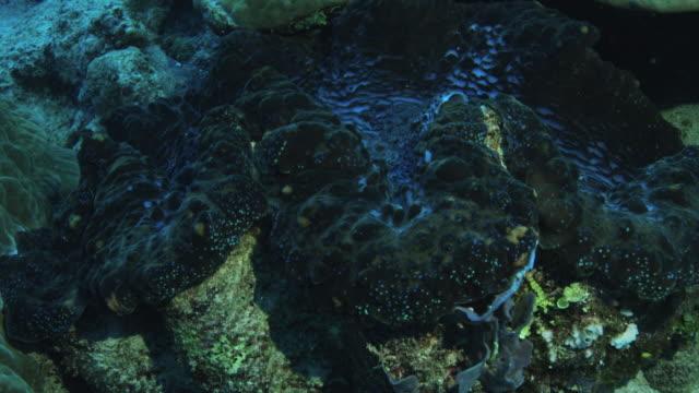 vídeos y material grabado en eventos de stock de almeja gigante encontrada en el grupo lord howe island - palaos