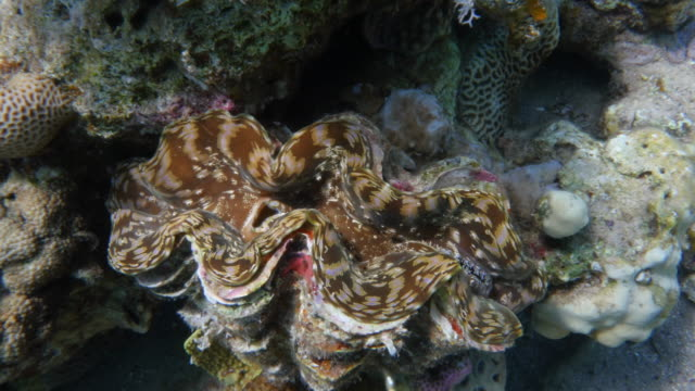 Giant Clam video