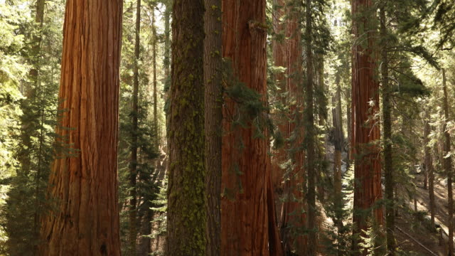 Giant forest in Sequoia National Park California USA video