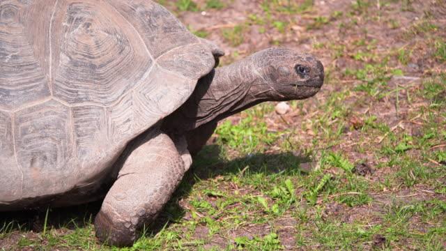 4K - Giant Galapagos tortoise runs video