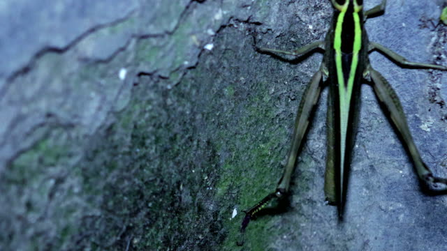 Giant Grasshopper Climbing on concrete wall