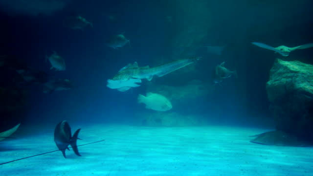 Giant Groupers video