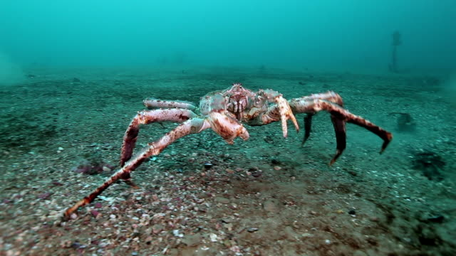 giant king crab in search of food on barents sea. - granchio video stock e b–roll