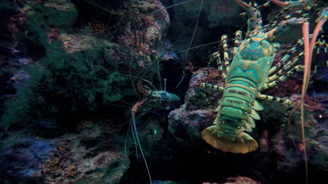 Giant Lobster in Sea. video