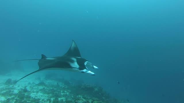 vídeos y material grabado en eventos de stock de manta gigante en el mar. - palaos