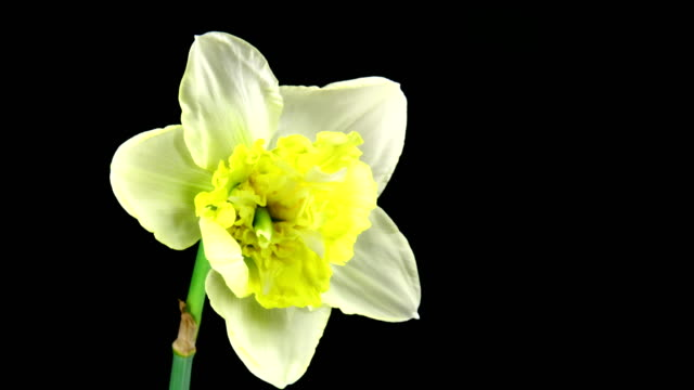 Giant Narcissus blooming video