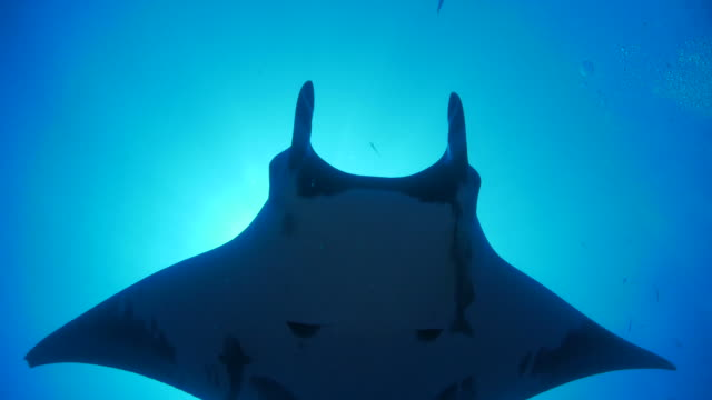 Giant oceanic manta ray flying under sea surface Revillagigedo Islands (Socorro Islands), Mexico, 2016. (2016_1120_1201_1125_1038_A) scuba diving stock videos & royalty-free footage