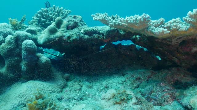 Giant Ogasawara lobster hiding in coral reef undersea, Japan