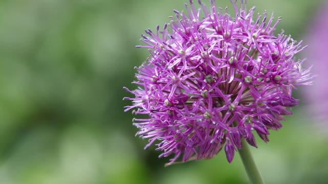 Giant onion flowers, purple Allium giganteum flower in sunny summer day, macro, slow motion video.