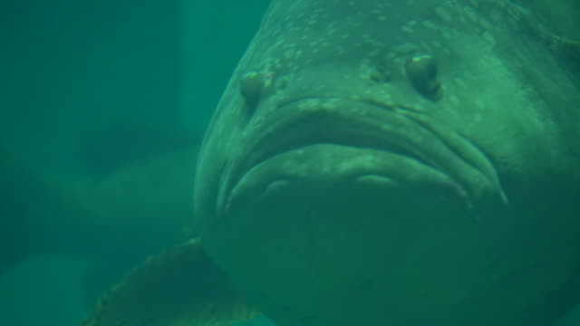 Giant or Queensland grouper fish Giant or Queensland grouper fish giant fictional character stock videos & royalty-free footage