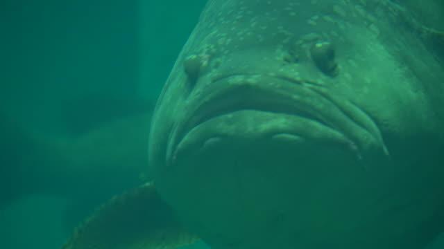 stockvideo's en b-roll-footage met reus of queensland grouper vis - reus fictief figuur