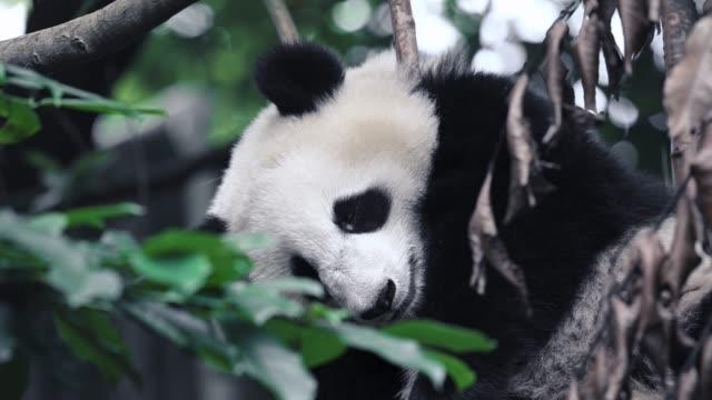 cucciolo di panda gigante dorme su un albero, guarda attraverso rami e foglie - mammifero video stock e b–roll