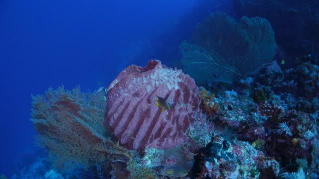 vídeos de stock e filmes b-roll de giant pink barrier sponge and sea fan coral - esponja