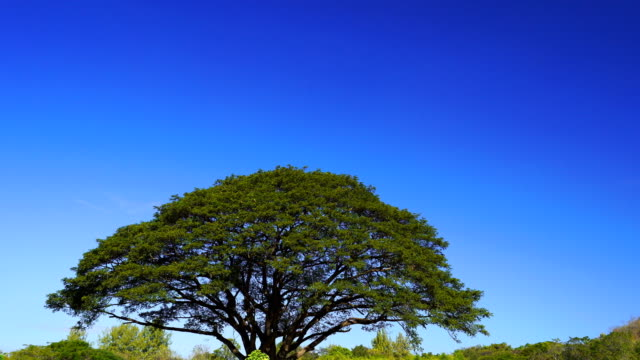 giant rain tree with cosmos flowers field video