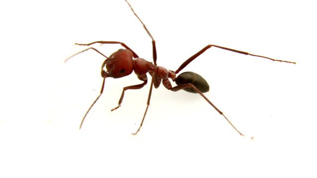 Giant Red Ant video