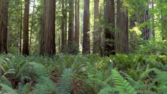 Giant Redwood trees with lush foliage on a sunny day, California, USA