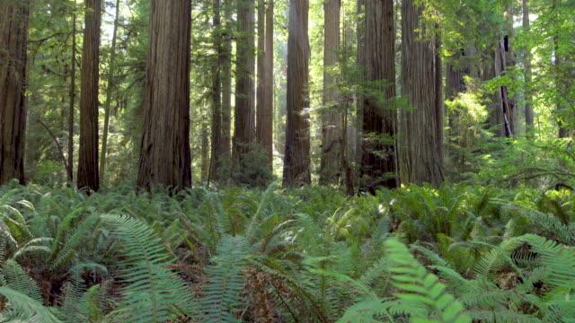 riesigen redwood-bäume mit üppiger vegetation an einem sonnigen tag, kalifornien, usa - staatspark stock-videos und b-roll-filmmaterial