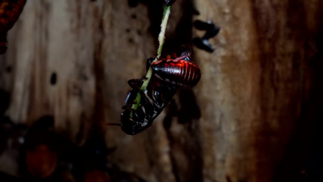 Giant roaches eats little green twig. video