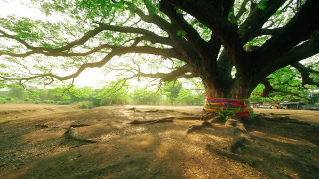 巨大的雨樹或合歡薩滿在北碧府 - 大 個影片檔及 b 捲影像