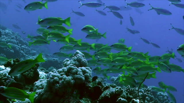 giant schools of tropic fish at coral reef video