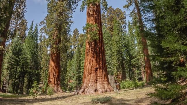 Giant Sequoia Tree Hyperlapse Timelapse Yosemite National Park California