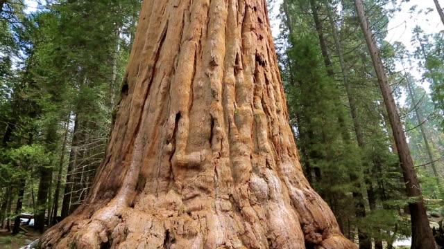 stockvideo's en b-roll-footage met giant sequoia bomen in sequoia national park - reus fictief figuur