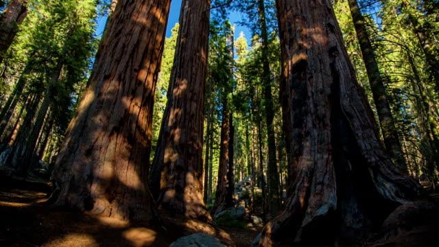 Giant Sequoia Trees video