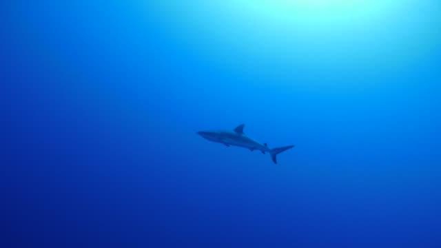 vídeos y material grabado en eventos de stock de tiburón gigante nadando submarinos, palau - micronesia