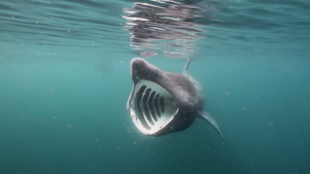 Giant Shark  basking shark videos stock videos & royalty-free footage
