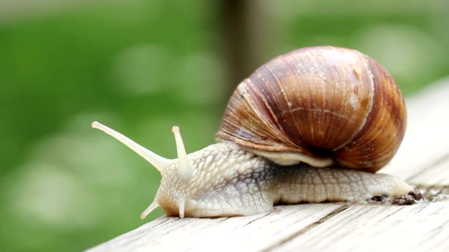 Giant Snail macro - Helix pomatia video