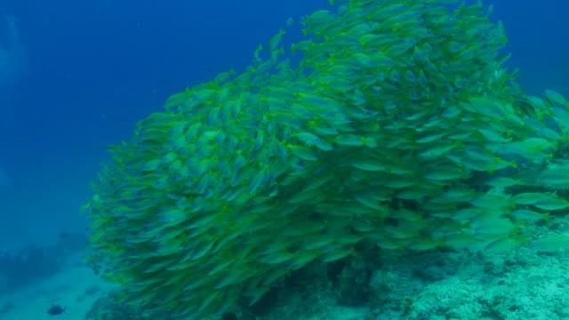 giant snapper fish tornado - луциан стоковые видео и кадры b-roll
