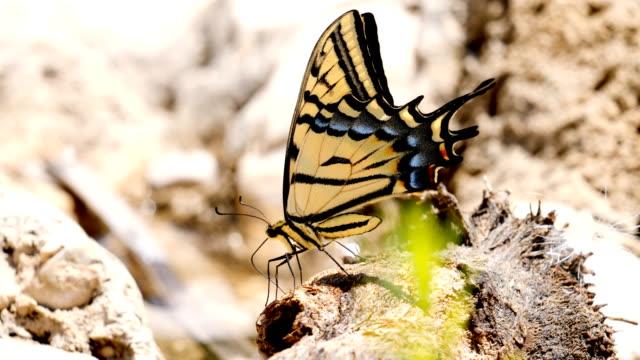 グアダルーペ山脈国立公園で巨大なアゲハチョウ - 花壇点の映像素材/bロール