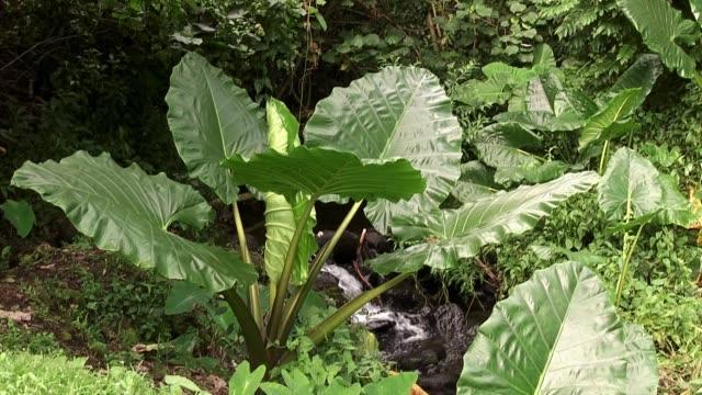 giant taro near stream - cespuglio tropicale video stock e b–roll