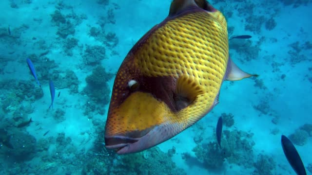 Giant titan triggerfish, biggest coral reef trigger fish, (Balistoides viridescens). Red Sea, Egypt