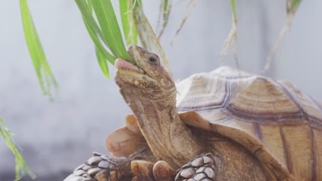 4K Giant tortoise bites leaves Shot on RED dragon giant tortoise stock videos & royalty-free footage
