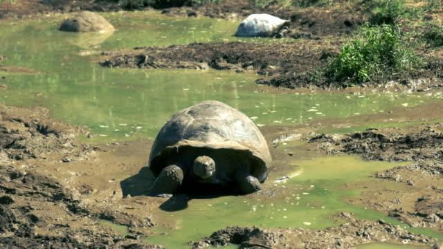 giant tortoise climbing out of waterhole on isla santa cruz in the galapagos a giant tortoise climbs out of a waterhole on isla santa cruz in the galapagos islands giant tortoise stock videos & royalty-free footage