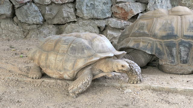 Giant tortoise, close-up Giant tortoise at zoo,  Turkey tortoise stock videos & royalty-free footage