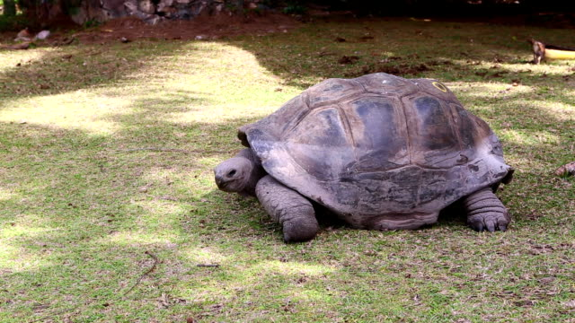Giant tortoise eating grass at Curieuse Island, Seychelles Giant tortoise eating grass at Curieuse Island breeding station, Seychelles giant tortoise stock videos & royalty-free footage