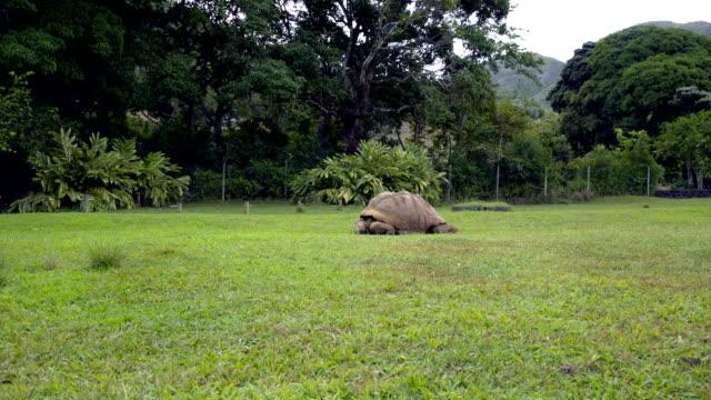 Giant Tortoise Feeding on Grass in Mauritius 2 Giant tortoise feeding on grass. Filmed from a distance. giant tortoise stock videos & royalty-free footage