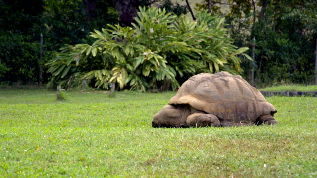 Giant Tortoise Feeding on Grass in Mauritius Park Giant tortoise feeding on grass. giant tortoise stock videos & royalty-free footage