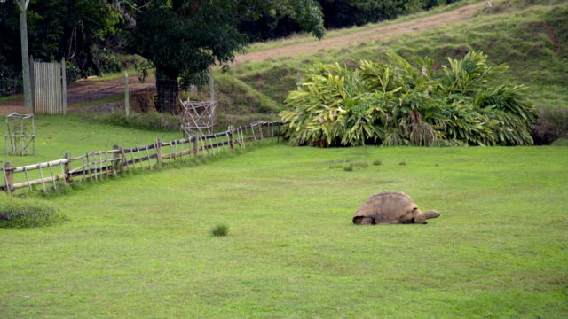 Giant Tortoise Feeding on Grass in Mauritius Giant tortoise feeding on grass. Filmed from a distance. giant tortoise stock videos & royalty-free footage