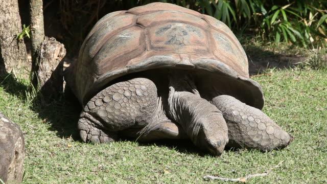 Giant Tortoise Feeding Giant tortoise. HD clip shot with the Canon 5DMkII. seychelles giant tortoise stock videos & royalty-free footage